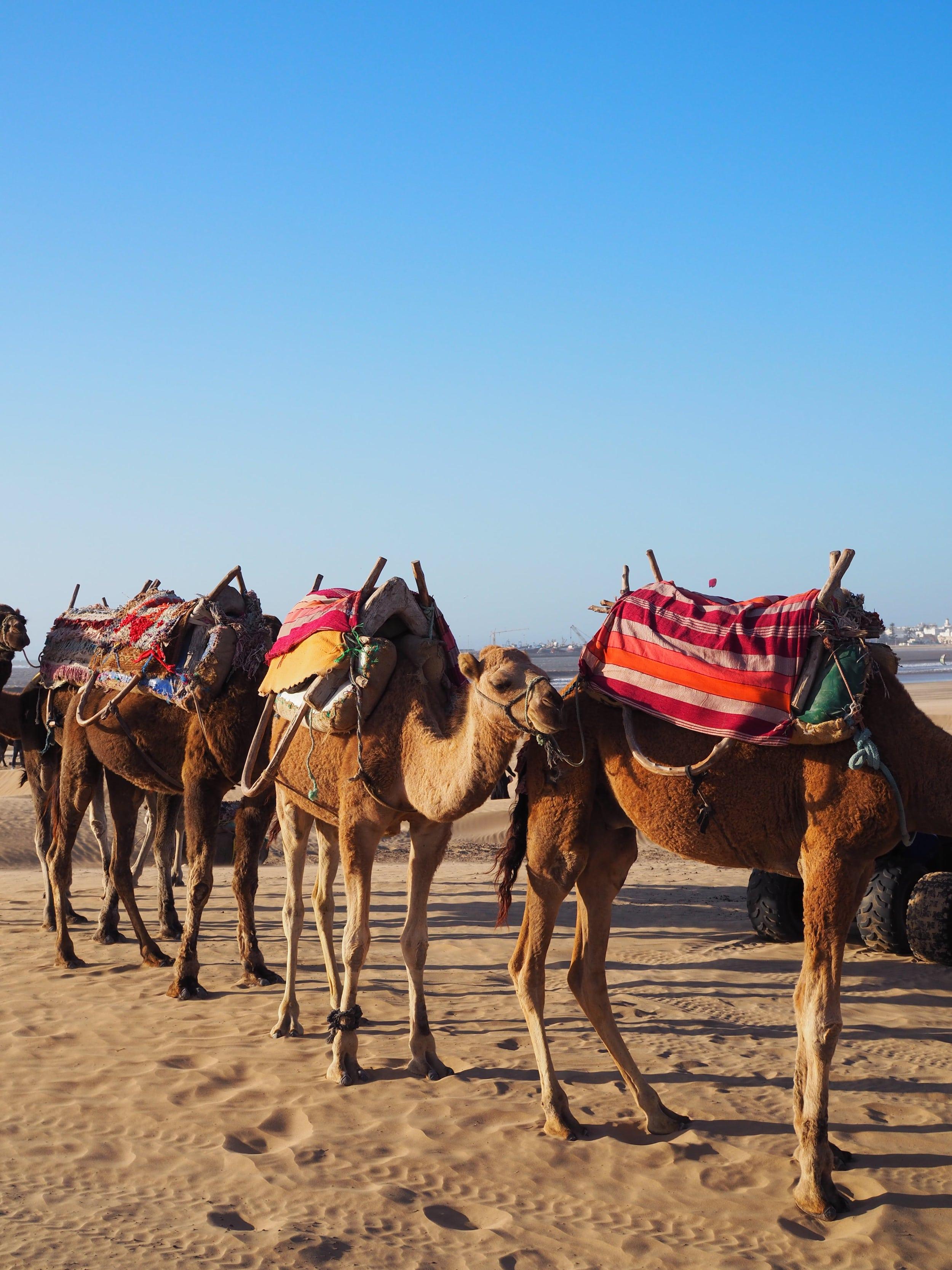 randonnée-chameaux-essaouira