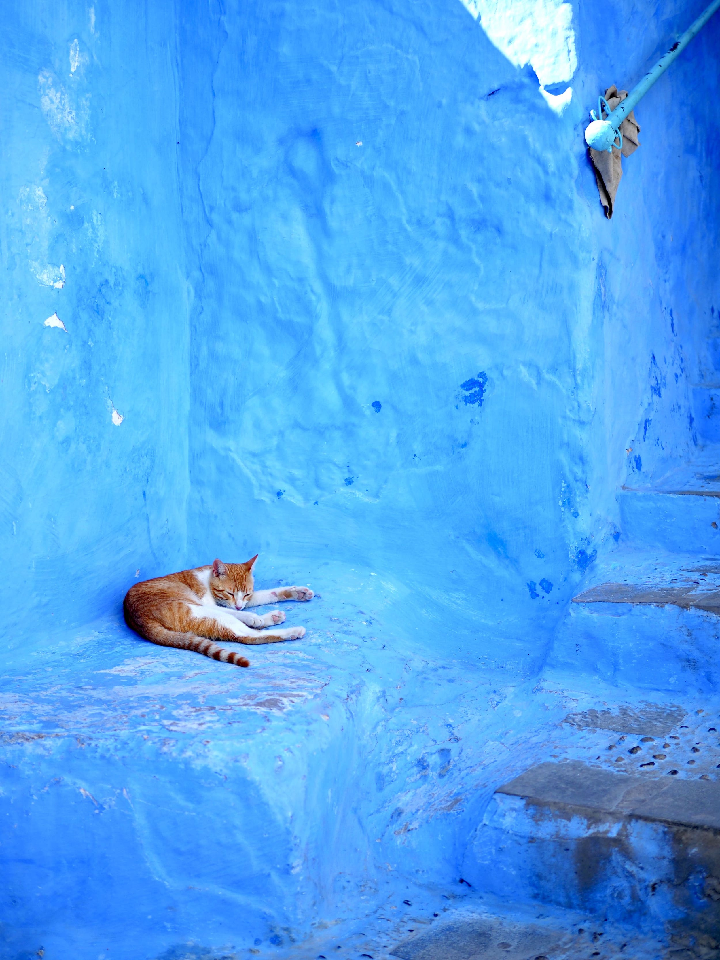 pourquoi-autant-de-chats-au-maroc